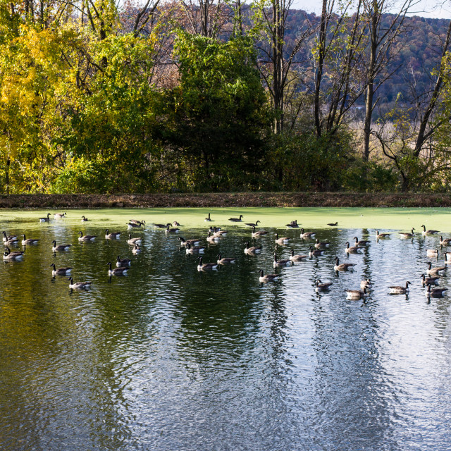 """Canada geese In Lake"" stock image"