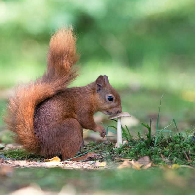 """Red Squirrel Sniffing a Toadstool"" stock image"