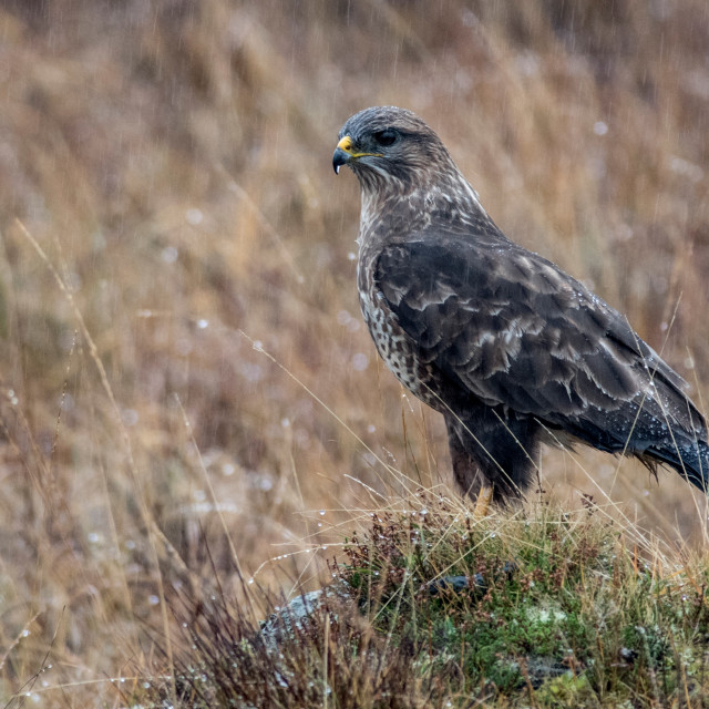 """Wet Buzzard (Buteo Buteo)"" stock image"
