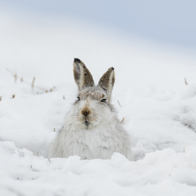"""Mountain Hare Sitting in Snow Hole"" stock image"