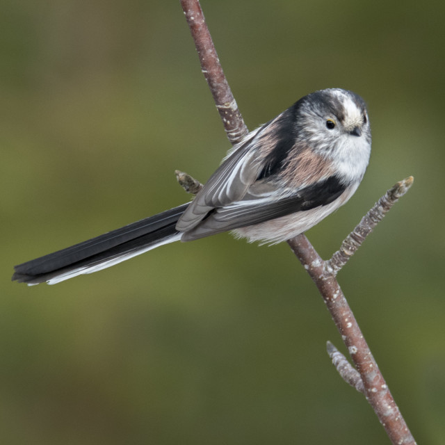 """Long-tailed Tit (Aegithalos caudatus) - portrait"" stock image"