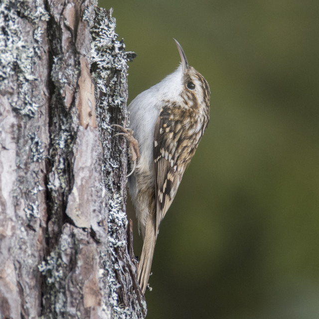 """Treecreeper (Certhia familiaris) climbing up tree"" stock image"