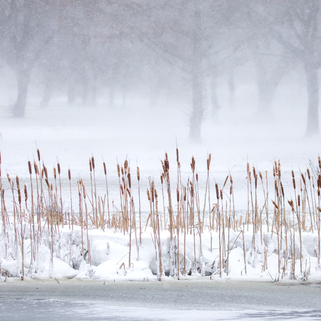 """""""Bullrushes in the snow"""" stock image"""