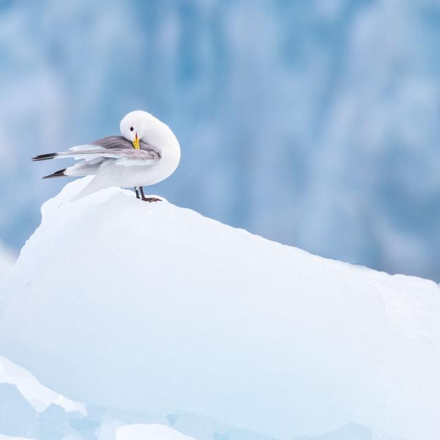 """Kittiwake on ice"" stock image"
