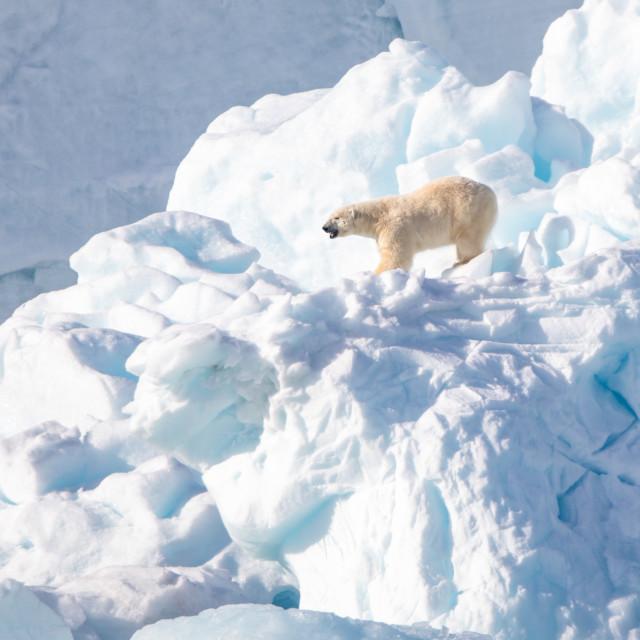 """Polar bear in the snow"" stock image"