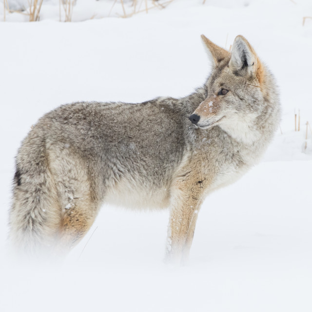 """""""Coyote in Yellowstone"""" stock image"""