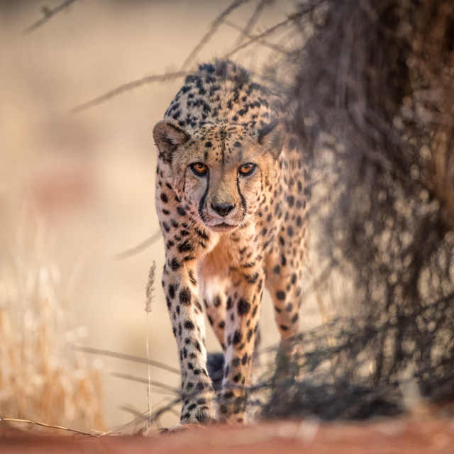 """Prowling Cheetah"" stock image"