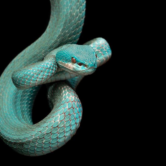 """Trimeresurus insularis / White-lipped island pit viper"" stock image"