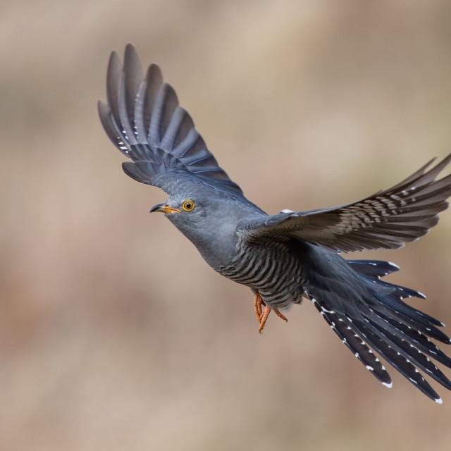 """""""Cuckoo in flight"""" stock image"""