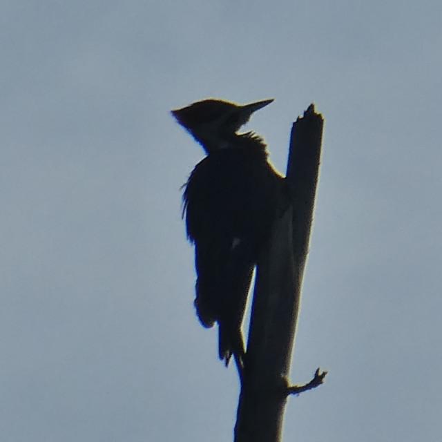 """Flicker (Woodpecker)"" stock image"