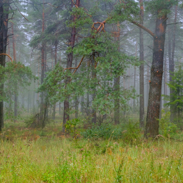 """Coniferous forest in misty fog"" stock image"