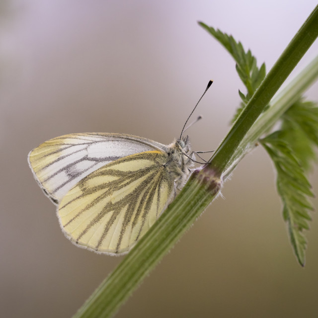"""""""Green-veined white butterfly Pieris Napi"""" stock image"""