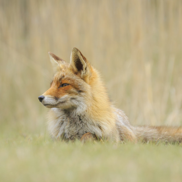 """Close-up of a wild red fox (vulpes vulpes) resting and relaxing"" stock image"