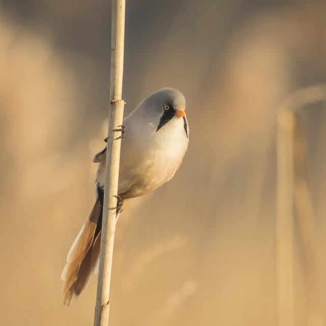 """""""Bearded reedling (Panurus biarmicus) singing"""" stock image"""