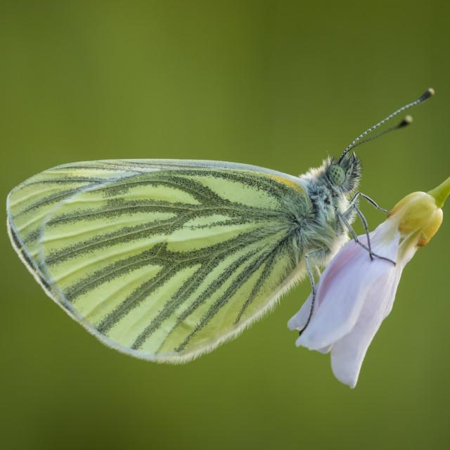"""Green-veined white (Pieris napi) Butterfly on cuckooflower"" stock image"