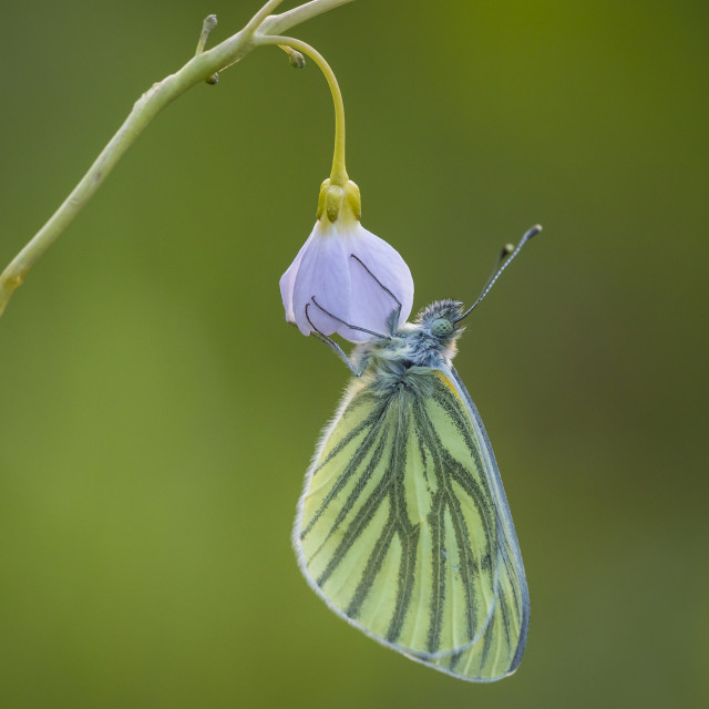 """Butterfly on cuckooflower"" stock image"