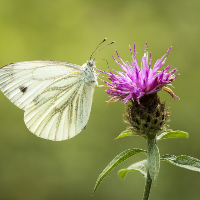 """""""Green-veined white (Pieris napi Butterfly on thistle"""" stock image"""