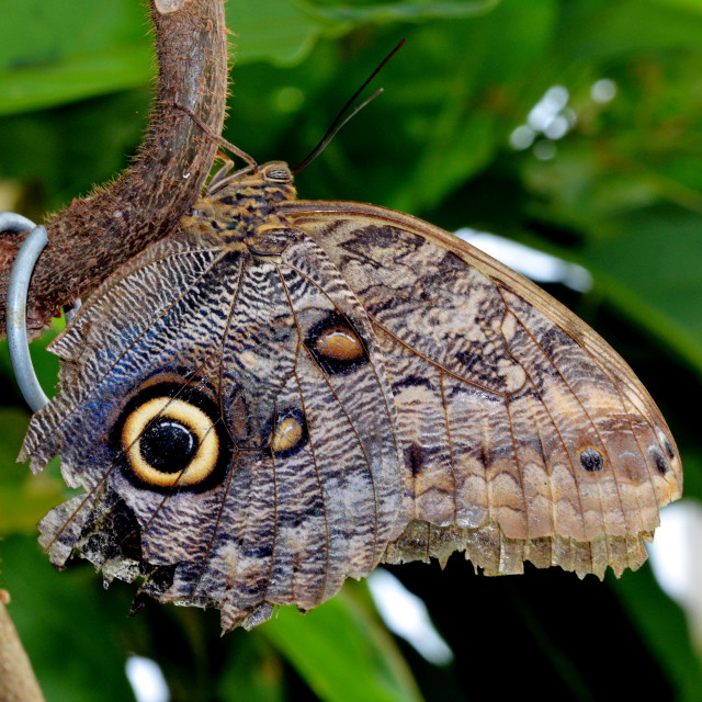 """""""The Owl Butterfly"""" stock image"""