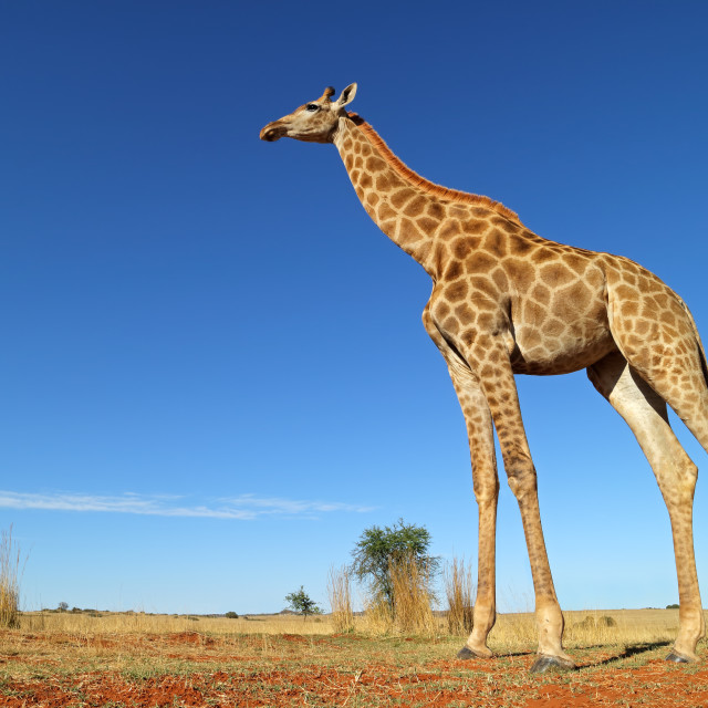 """""""Low-angle view of a giraffe"""" stock image"""