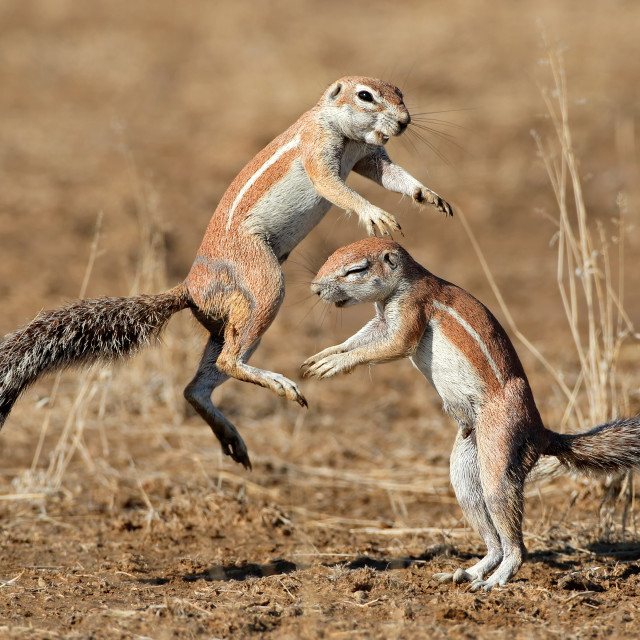 """Playing ground squirrels"" stock image"