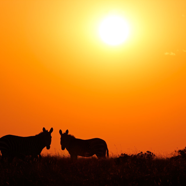 """Zebra silhouettes against a red sunrise"" stock image"