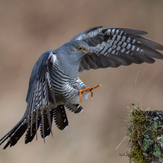 """Cuckoo landing"" stock image"