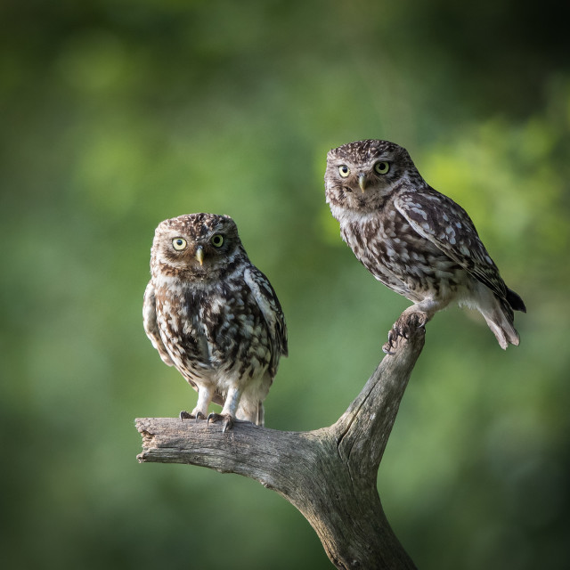 """Two Little Owls"" stock image"