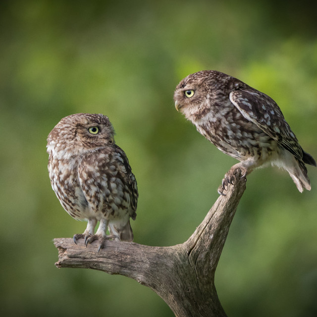 """""""Two Little Owls"""" stock image"""