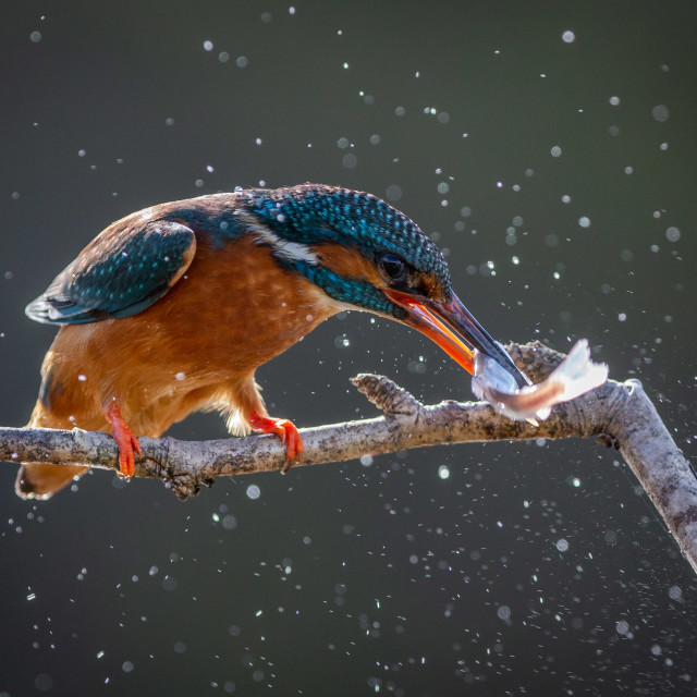 """""""Kingfisher with catch"""" stock image"""