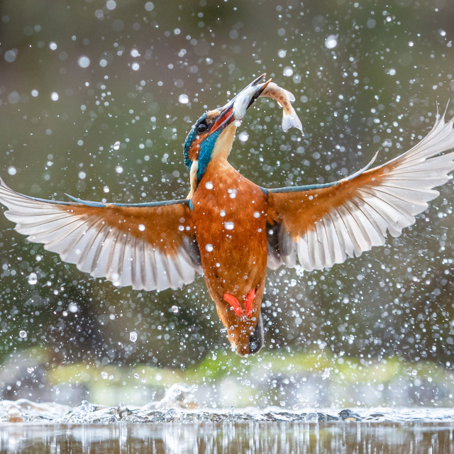 """Kingfisher emerging with fish"" stock image"
