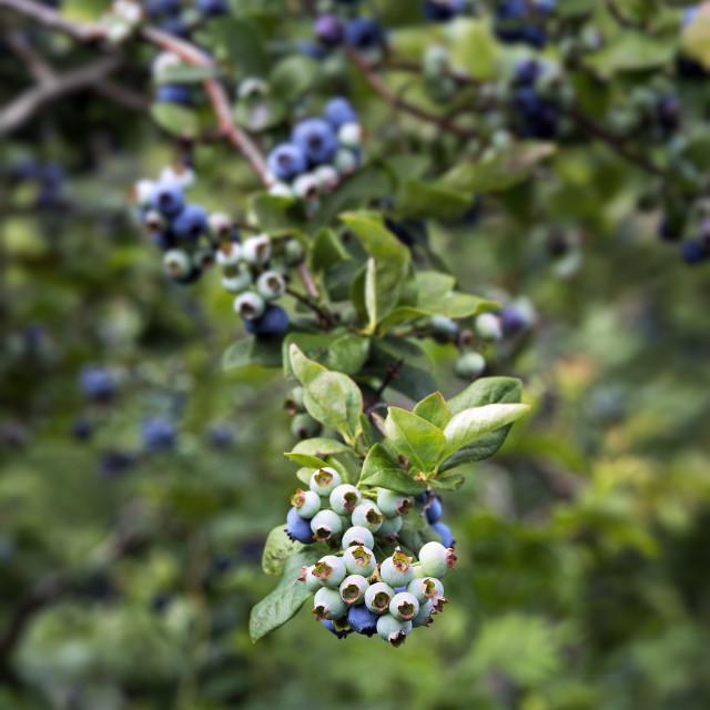 """""""Blueberry bush"""" stock image"""