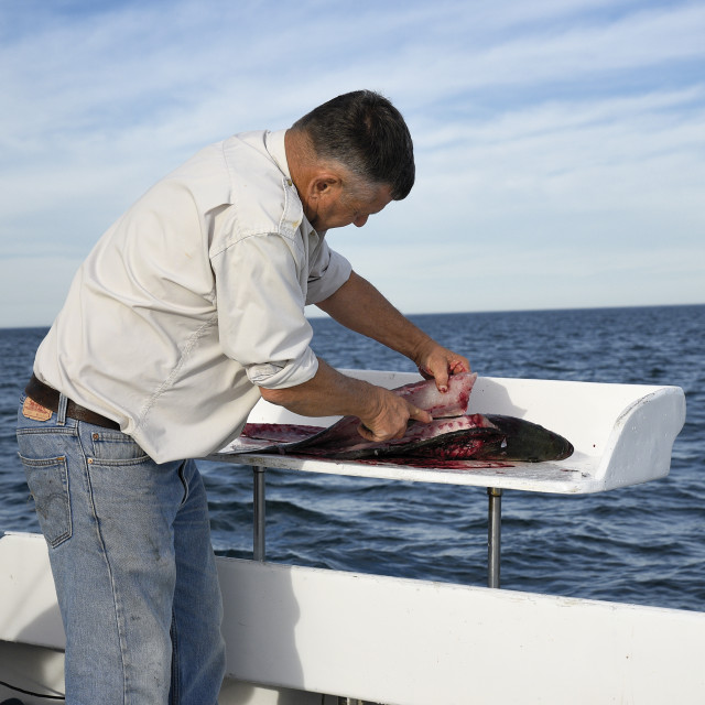 """""""Man cleans a fish caught on a charter fishing boat, Cape Cod"""" stock image"""
