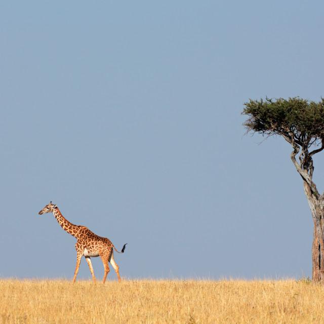 """Masai giraffe and tree"" stock image"