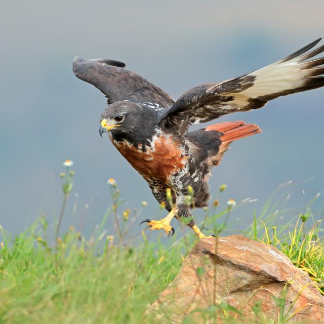 """""""Jackal buzzard on a rock"""" stock image"""