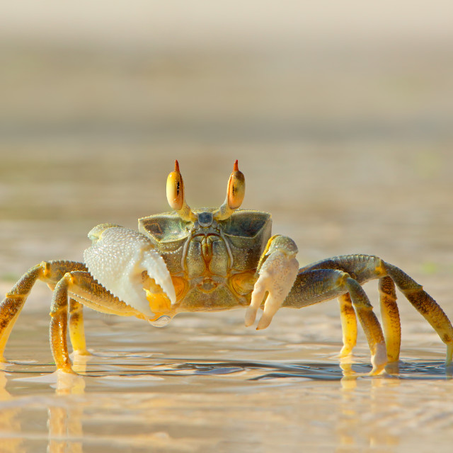 """Ghost crab on beach"" stock image"