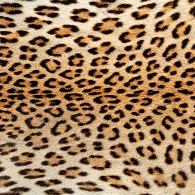 """Skin of a leopard"" stock image"