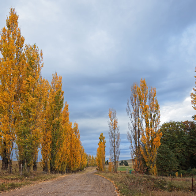 """Rural road and colorful poplar trees"" stock image"