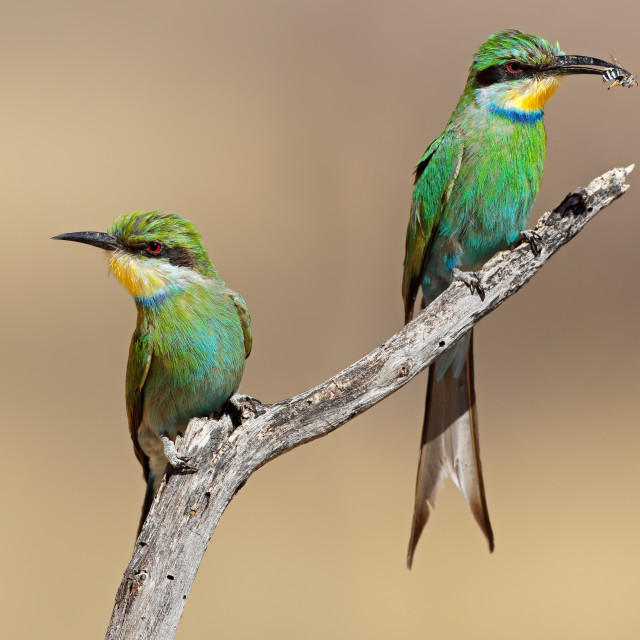 """Swallow-tailed bee-eaters"" stock image"