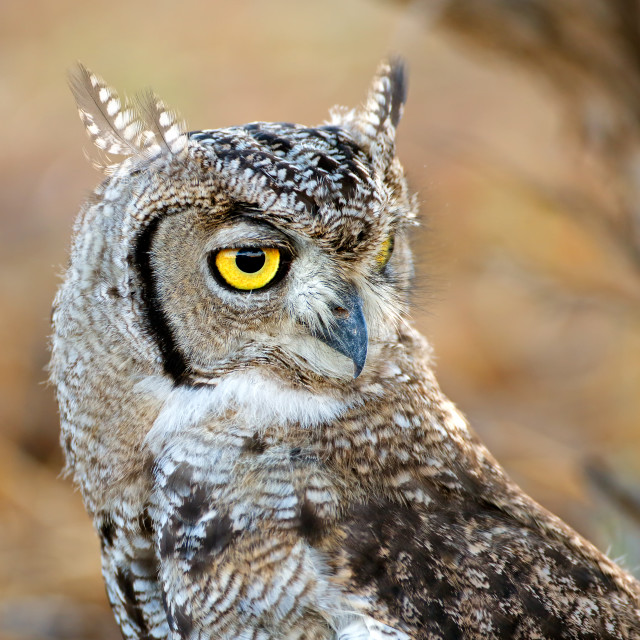 """Portrait of a spotted eagle-owl"" stock image"