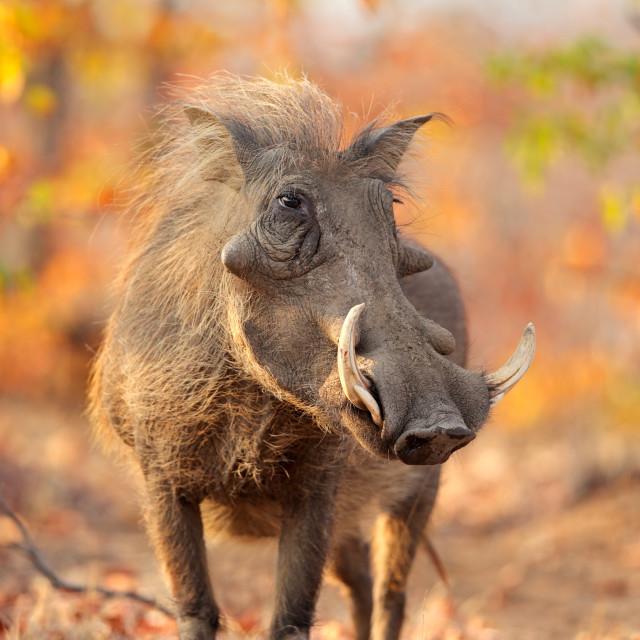 """Warthog in natural habitat"" stock image"