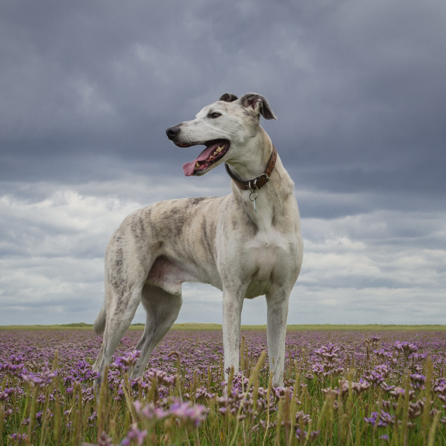 """Lurcher on Sea Lavender"" stock image"