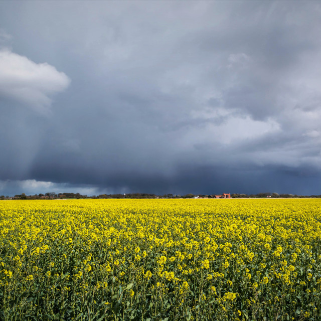 """Storm over rape field"" stock image"