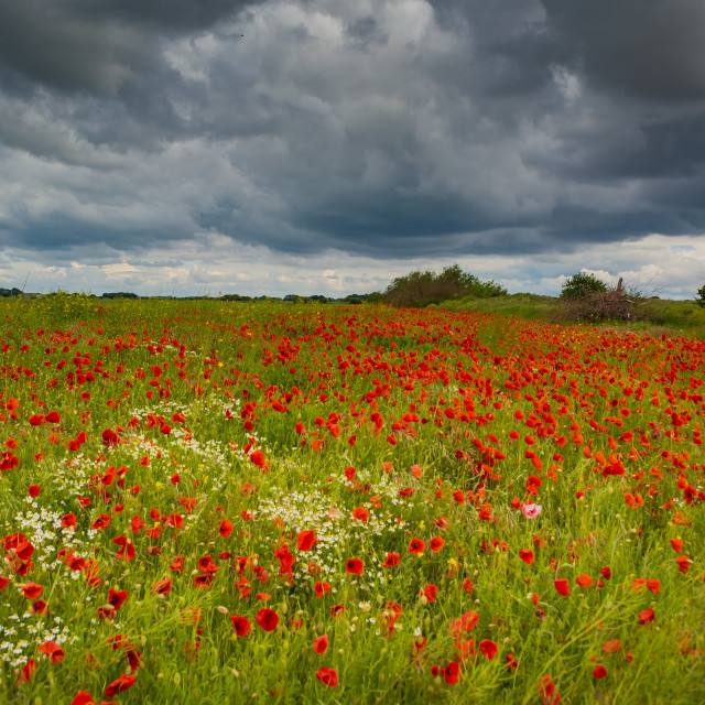 """""""Poppies and Wild Flowers"""" stock image"""