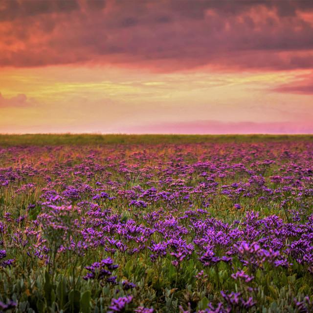 """Sea lavender Sunrise"" stock image"