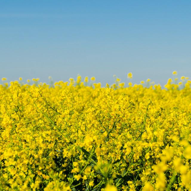 """Yellow Rape flowers and Blue sky"" stock image"