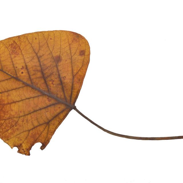 """Dried leaf"" stock image"