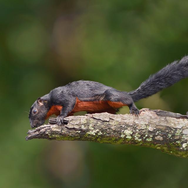 """Provost Squirrel"" stock image"