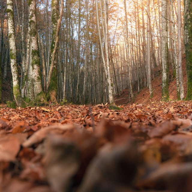 """Deciduous autumn forest at ground level"" stock image"