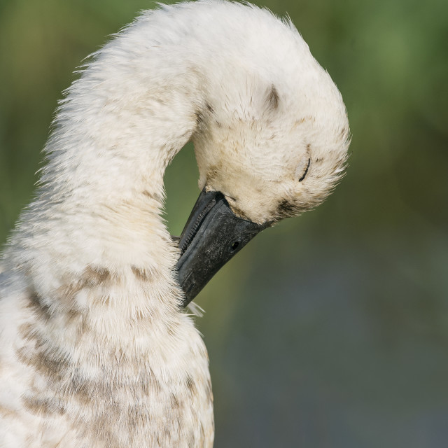 """Preening duck"" stock image"
