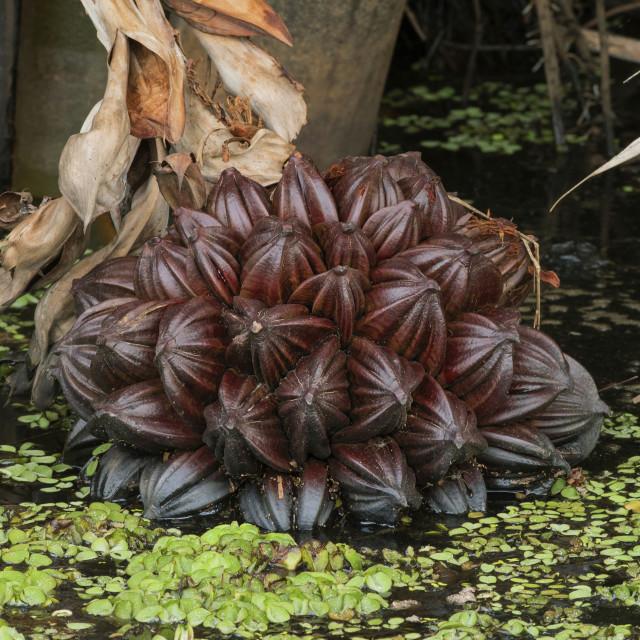 """Nipa Palm fruit"" stock image"